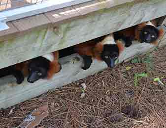 Red tuffed lemurs